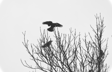Silhouettes of the ravens sitting on the tree.