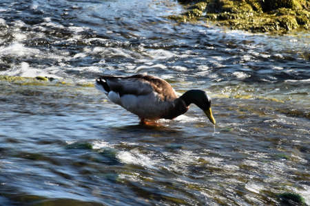 Lovely duck is having a beautiful day at the rhine falls in Switzerland 20.5.2020