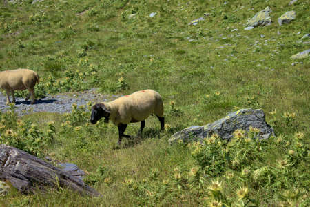 Cute scenery with sheep on a field at the mount Pizol in Switzerland 7.8.2020
