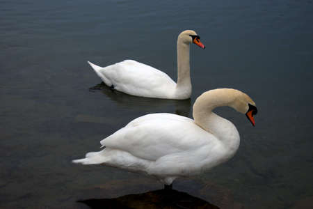 Lovely white swan in the lake in Werdenberg in Switzerland 15.1.2021