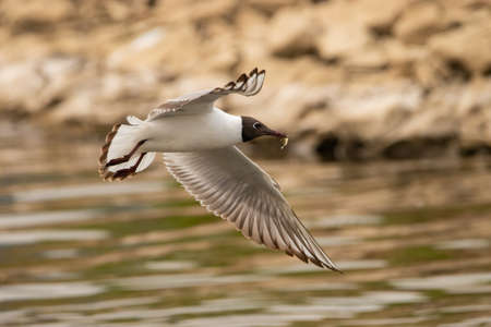 Seagull has hunted a fish at the lake of Constance in Altenrhein in Switzerland 28.4.2021
