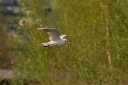Spotting a seagull in flight at the lake of Constance in Altenrhein in Switzerland 28.4.2021