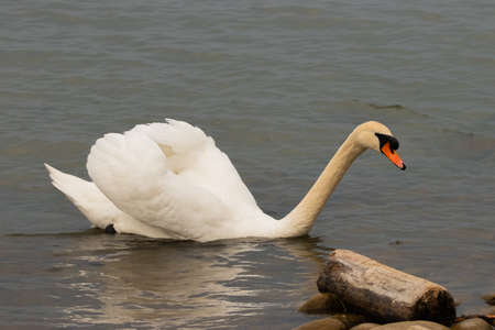 White swan is swimming at the bay of the lake of Constance in Altenrhein in Switzerland 28.4.2021