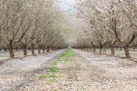 Almond Fields In Bloom