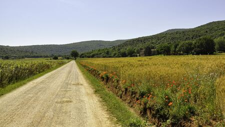 Beautiful view of the Via Francigena in Tuscany with poppies and a tree at the end of the path