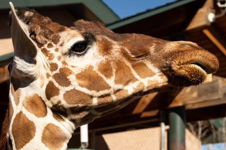Closeup of adult giraffe at Cheyenne Mountain Zoo in Colorado Springs, Colorado Imagens