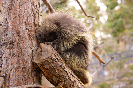 Adult porcupine sitting in tree in winter at the Cheyenne Mountain Zoo in Colorado Springs, Colorado. Imagens