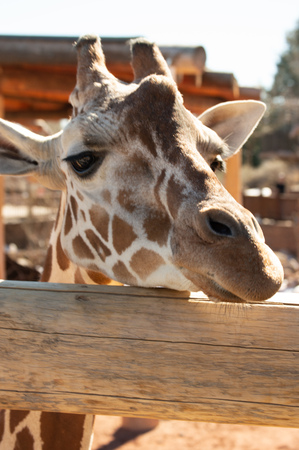 Closeup of adult giraffe at Cheyenne Mountain Zoo in Colorado Springs, Colorado 版權商用圖片