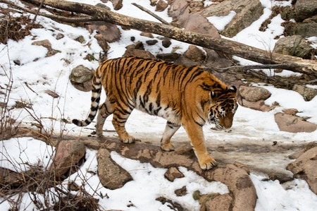 Tiger in captivity at Cheyenne Mountain Zoo in Colorado Springs, Colorado in the snow. Imagens