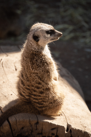 Meerkat standing at attention at the zoo in Colorado Springs, Colorado.