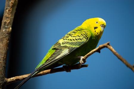 Closeup of beautiful parakeet against blue sky in captivity