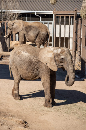 Captive African elephant at Cheyenne Mountain Zoo in Colorado Springs, Colorado Imagens