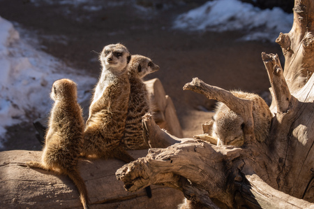 Family of meerkat in captivity in Colorado Springs, Colorado zoo