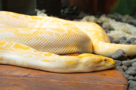 Albino yellow and white python in captivity sunning at zoo in Colorado Springs, Colorado Imagens
