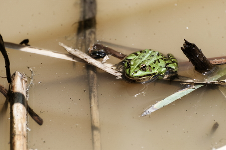 Common water frog or green frog on a reed plant floating in a pond