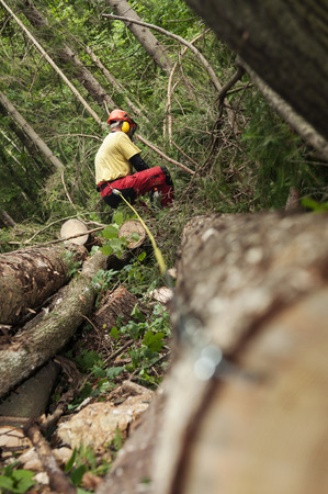 Forestry worker trimming branches and measuring cut down spruce tree 写真素材
