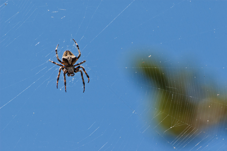 European garden spider waiting in its web Banco de Imagens