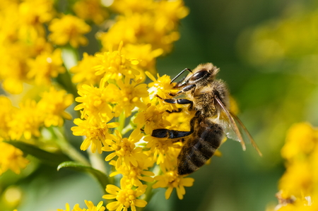 A honey bee collecting pollen from yellow flowers
