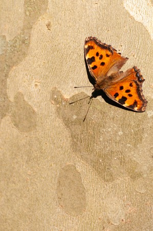 Common leopard butterfly on the bark of a tree Stock Photo