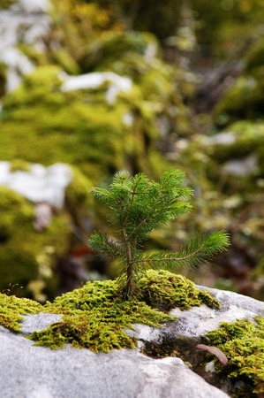 New born green small spruce tree seedling on a moss covered rock in forest Фото со стока