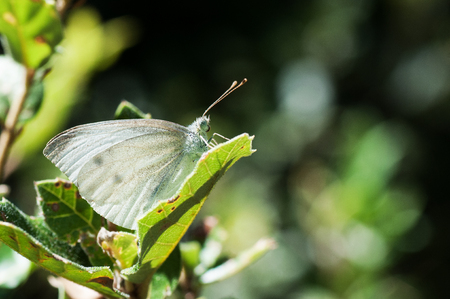 Pieris brassicae, Cabbage butterfly also known as the large white sitting on a green leaf