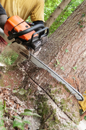 Closeup of chainsaw being held by forestry worker making a wedge cut into a spruce tree
