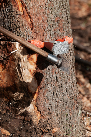 Detail of splitting maul axe hammering an aluminum wedge into the spruce tree