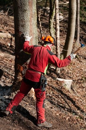 Forestry worker hammering a wedge into a spruce tree with hookaroon Stok Fotoğraf