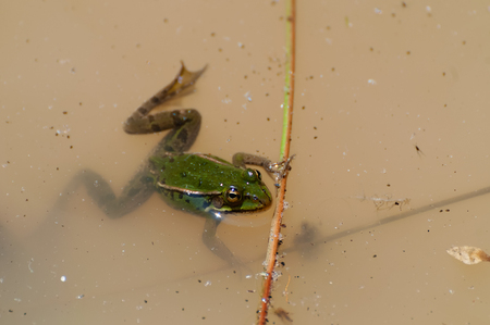 Common water frog or green frog floating in a muddy pond