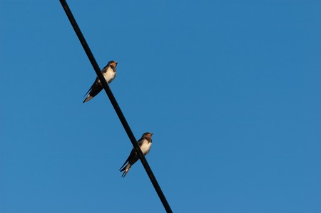 Two adult swallows sitting on electric wire with blue sky in background. Freedom, ornithology and couples concepts. 스톡 콘텐츠