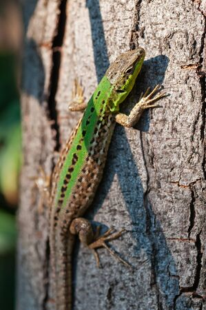 Closeup of a green sand lizard, Lacerta agilis, on a trunk of a pine tree.