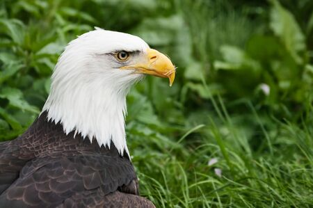 Closeup of a bald eagles head, Haliaeetus leucocephalus, with green foliage in background. American eagle, bird of prey, ornithology and symbolism concepts