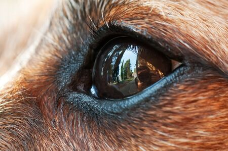 Extreme closeup of small dog's eye reflecting a photographer taking the shot. Animal sense, eye disease, observation and sensory perception concepts. 写真素材 - 129977742