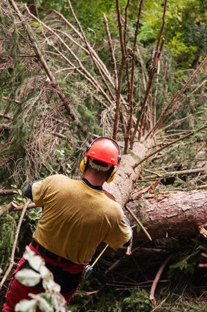 Forestry worker with protective gear prepairing to measure a felled spruce tree with tape measure. Forestry, gardening, environment, workers and protective gear concepts.