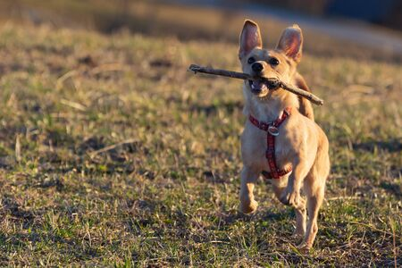 Cute little brown Rat Terrier Chihuahua mix dog catching a wooden stick in midair on dry meadow grass. Pets, animal friend, play and dog obedience training concepts. Stock Photo