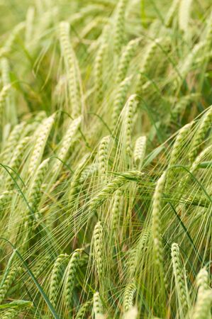 Closeup of young green barley awns in the field. Agriculture, farming, GMO, cereal, organic growth and environment concepts