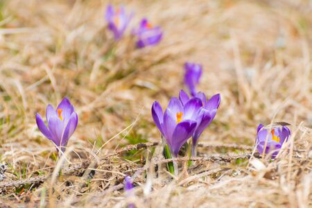 Closeup of blooming spring crocus flowers in dry grass meadow in early spring. Botany, entomology, seasons and environment concepts.