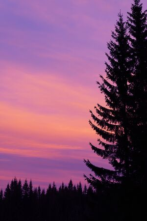 Colorful twilight sky with silhouette of spruce tree forest in foreground. Fir tree against pink to orange evening sky. Atmosphere, magical nature, forestry, climate change and environment concepts.
