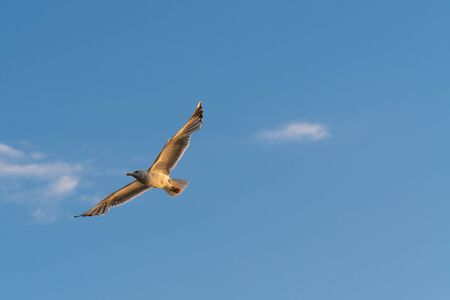 Flying seagull with spread wings on clear blue sky lit by golden sunlight. Birds, ornithology, freedom and vacation concepts