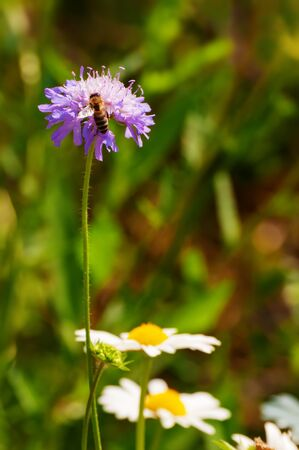 European honey bee collecting pollen off of a purple flower in spring meadow