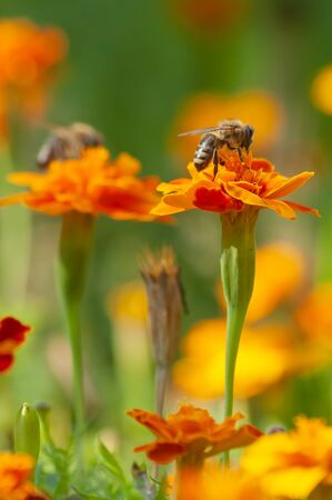 Honey bee collecting pollen from an orange marigold flower in the fresh green garden with the blur background. Garden, flowers, insects and nature concepts Фото со стока