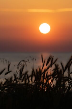 Silhouette of wild wheat awns and sun setting over sea with bright and clear orange sky in background. Vacation, tourism and optimism concepts.
