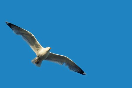 Flying seagull with spread wings on clear blue sky. Birds, ornithology, freedom and vacation concepts