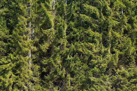 Closeup of sunlit green spruce trees and branches. Nature, forestry, climate change and environment concepts. 版權商用圖片 - 129977531