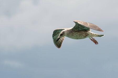 Flying seagull with spread wings on cloudy background. Birds, ornithology, freedom and vacation concepts