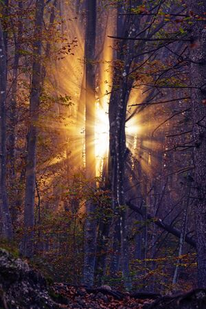 Magical golden light of rising sun shining through fog in a dreamy mystical autumn forest. Beauty in nature, forestry and optimism concepts 版權商用圖片
