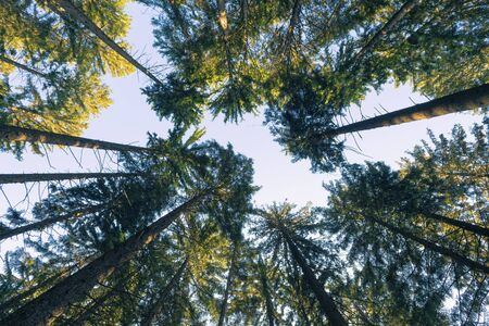 Looking up into the treetops of spruce trees lit by morning sun. Nature, environment, ecology and forestry concepts.