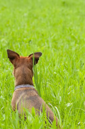 Little dog sitting and waiting in a green grass field. Pets, animals and dog obedience training concepts