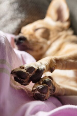 Close up of paws and a small dog resting on a couch.