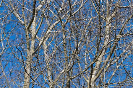 Naked interwoven beech tree branches on a blue sky background in early spring Reklamní fotografie